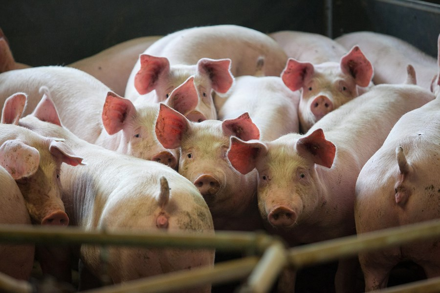 O 'pré-sal caipira': a energia que vem dos porcos
