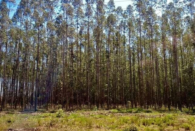 Plantação eucalipto