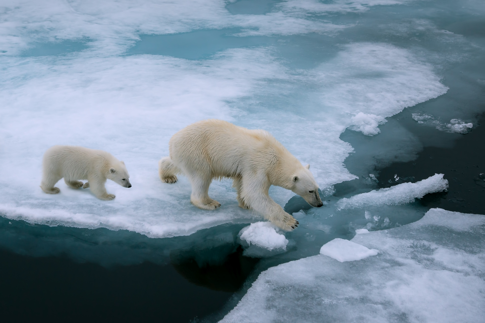 Aquecimento global afeta ursos polares