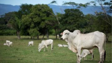 boi gado nelore na amazônia