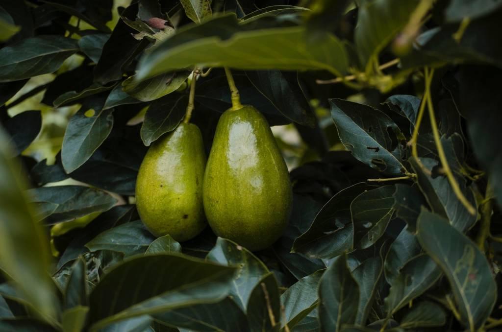 Abacateiro